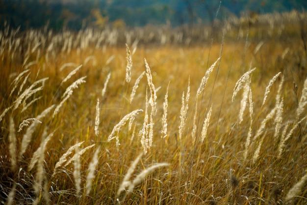 Primo piano delle spighette gialle alte, prato appassito di autunno