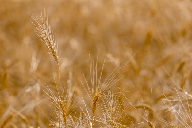 Primo piano delle teste di grano duro nel campo del raccolto nelle praterie in saskatchewan, canada