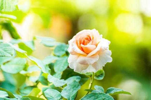 Primo piano di bei fiori della rosa di rosa che fioriscono nel giardino vista della natura del fiore con naturale.