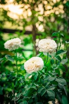 Primo piano di bei fiori della rosa di rosa che fioriscono nel giardino.