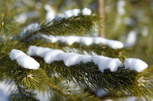 Primo piano di bei rami di abete innevato liscio ricoperti di neve nel periodo invernale