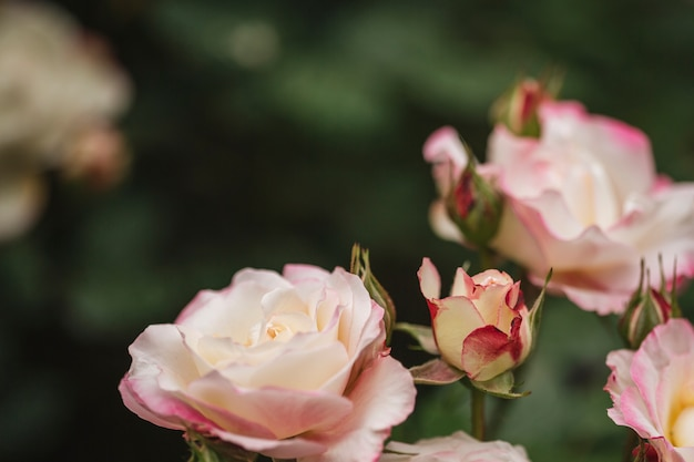 Primo piano di belle rose