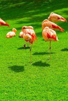 Primo piano di bello gruppo del fenicottero sull'erba nel parco