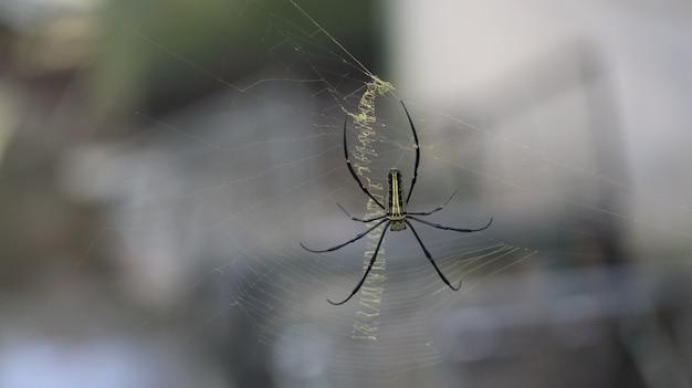 Primo piano di bello ragno su un web