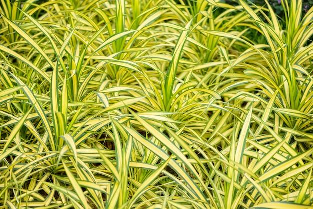 Primo piano di cholorophytum comosum