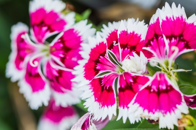 Primo piano di dianthus rosa chinensis flowers