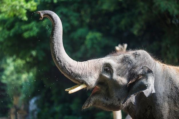 Primo piano di elefante con tronco sollevato