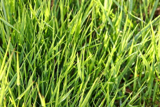 Primo piano di erba verde fresca