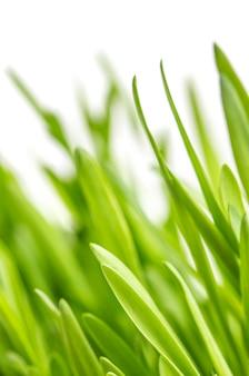 Primo piano di erba verde su bianco
