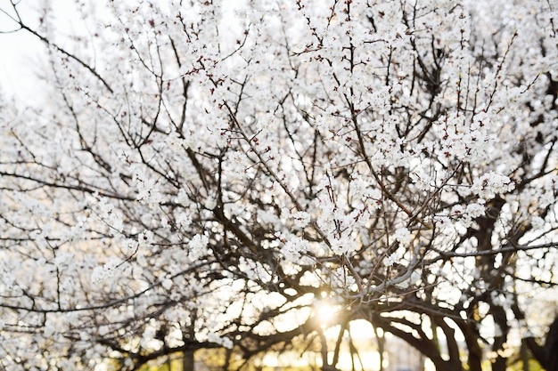 Primo piano di fioritura dell'albicocca di primavera. il concetto di risveglio della natura, aprile, maggio.
