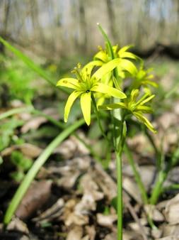 Primo piano di gagea lutea, o stella di betlemme gialla, fiorente nella foresta di primavera