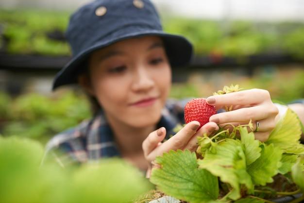 Primo piano di giovane agricoltore asiatico che tiene una grande fragola, fuoco sulla bacca matura rossa