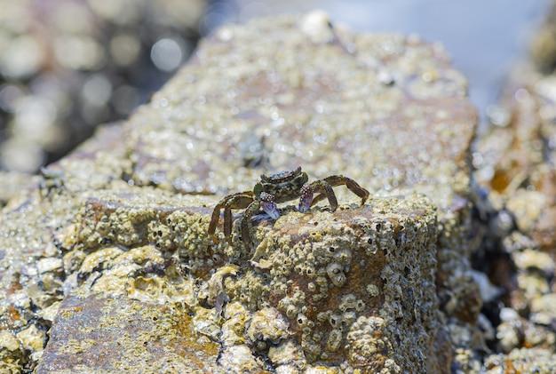 Primo piano di granchio sulla roccia sulla spiaggia