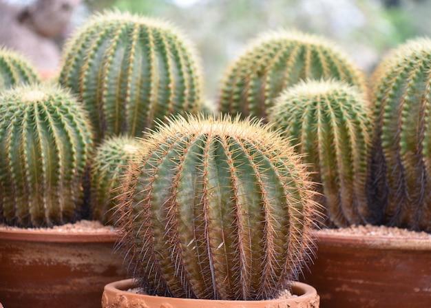 Primo piano di grande cactus verde nel giardino. messa a fuoco selettiva