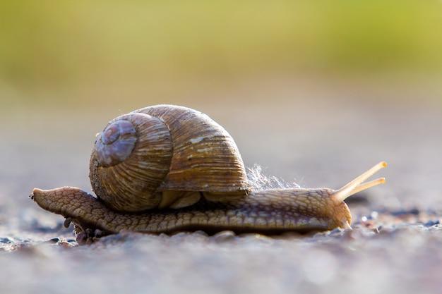 Primo piano di grande lumaca terrestre con guscio marrone che striscia lentamente. uso di molluschi come cibo e danni per il concetto di agricoltura.