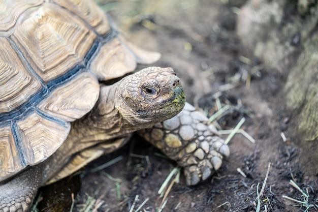 Primo piano di grande tartaruga sveglia