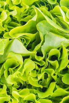Primo piano di lattuga organica