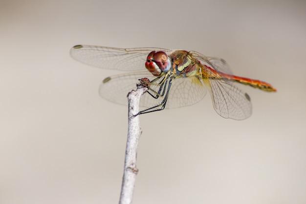 Primo piano di libellula sul ramoscello