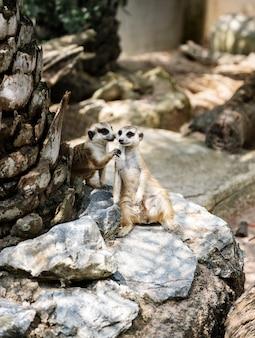 Primo piano di meerkats allo zoo