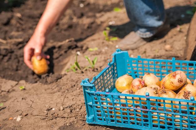 Primo piano di patate germogliate. un uomo siede patate in primavera e copia spazio.