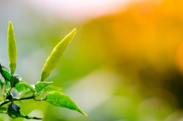 Primo piano di peperoncini verdi