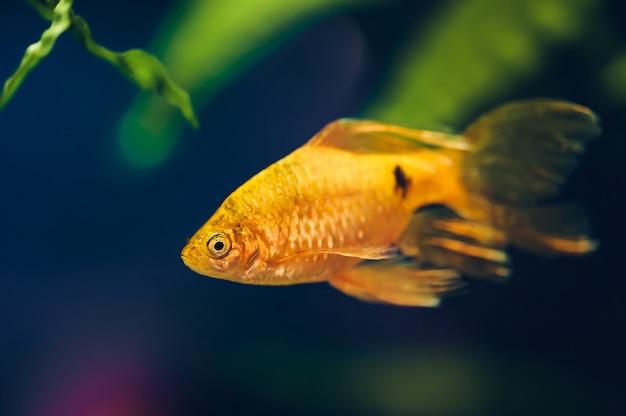 Primo piano di pesce barbus.