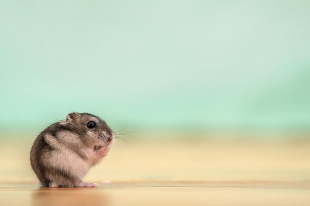Primo piano di piccolo criceto jungar miniatura divertente che si siede su un pavimento. ratto dzhungar soffice e carino a casa.
