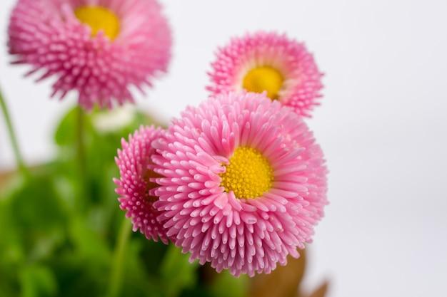 Primo piano di piccolo fiore delicato della margherita di bellis della molla rosa