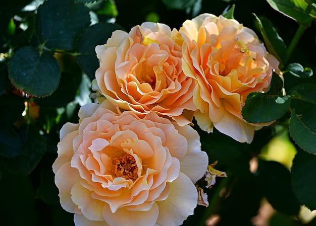 Primo piano di rose sempreverdi in un giardino sotto la luce del sole