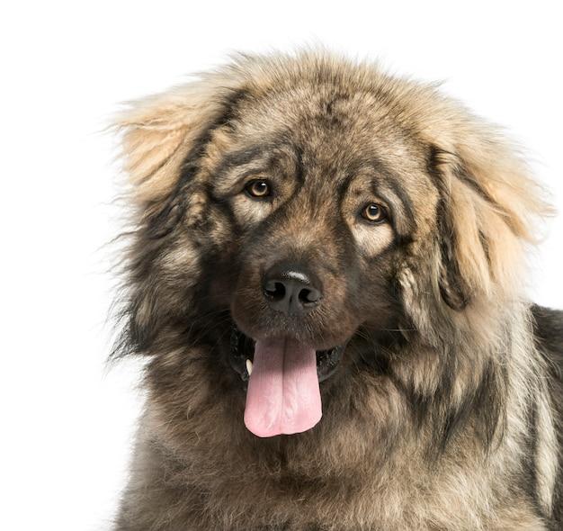 Primo piano di un ansimare del cane da pastore jugoslavo, isolato