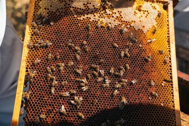 Primo piano di un apicoltore che giudica un favo pieno di api.