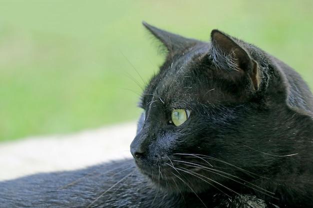 Primo piano di un bellissimo gatto nero sull'isola di pasqua, cile, sud america