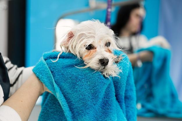 Primo piano di un bolonka bolognese bagnato avvolto in un asciugamano blu su una tavola ad una clinica veterinaria. il piccolo cane è stato lavato prima del taglio