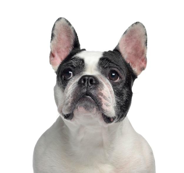 Primo piano di un bulldog francese, isolato su bianco