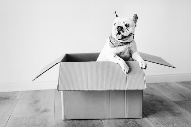 Primo piano di un bulldog francese