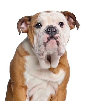 Primo piano di un bulldog inglese isolato su bianco