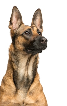 Primo piano di un cane da pastore belga