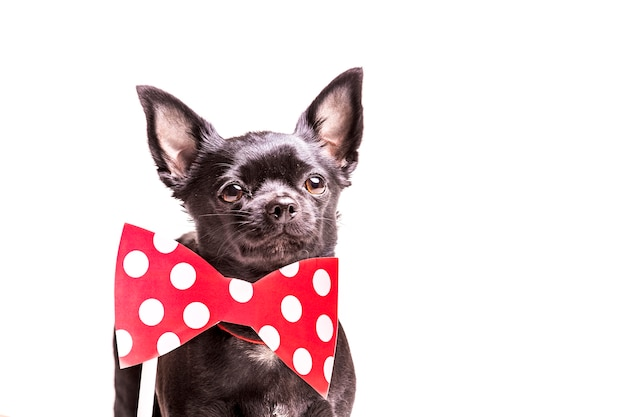 Primo piano di un cane di boston terrier con cravatta a farfalla