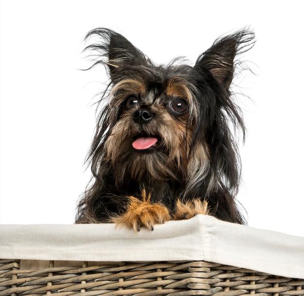 Primo piano di un cane di razza mista tra chihuahua e yorkshire in un cesto isolato su bianco