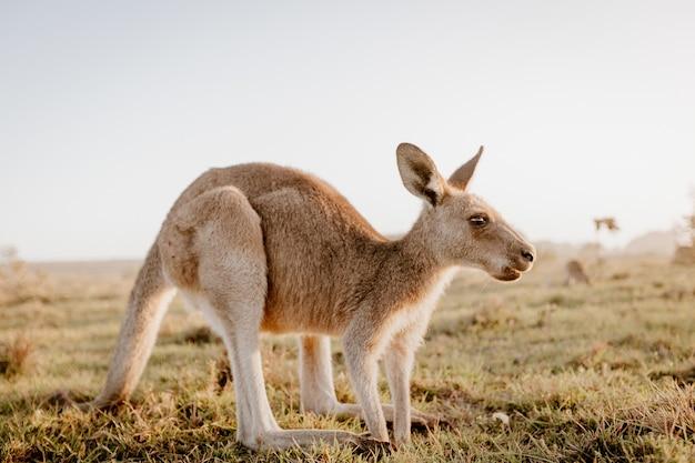 Primo piano di un canguro in un campo erboso asciutto con uno sfondo sfocato