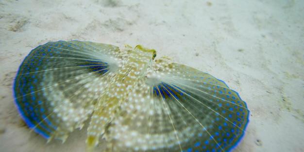 Primo piano di un capone volante (dactylopterus volitans) sott'acqua, utila island, bay islands, honduras