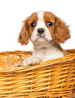 Primo piano di un cavalier king charles puppy in stoppino