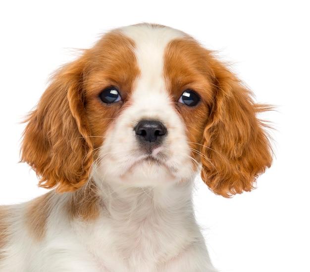 Primo piano di un cavalier king charles puppy