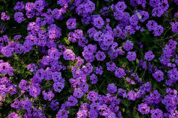 Primo piano di un cespuglio con i fiori viola