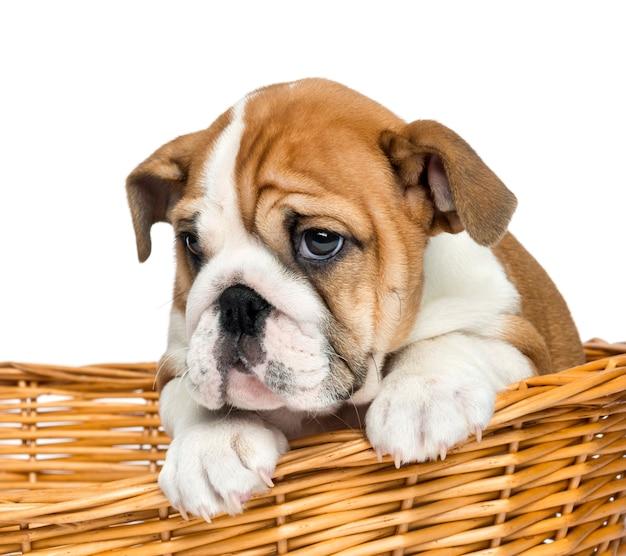 Primo piano di un cucciolo bulldog inglese in un vimini