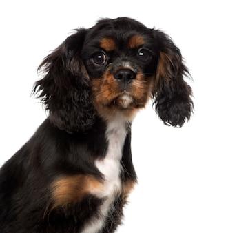 Primo piano di un cucciolo di cavalier king charles spaniel, isolato su bianco