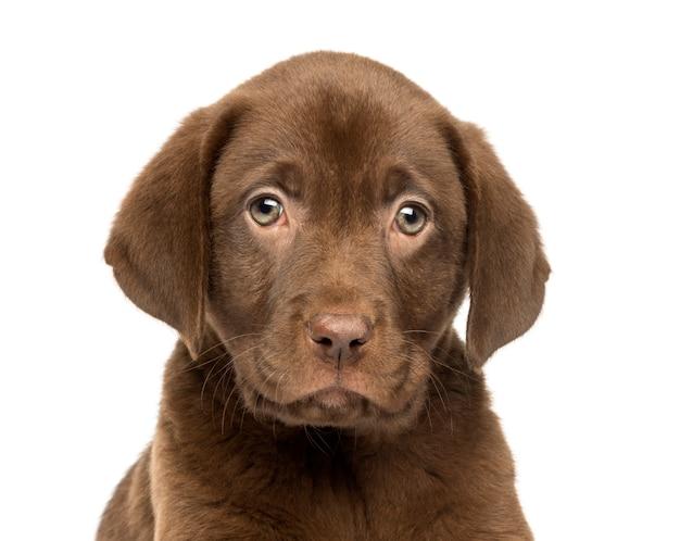 Primo piano di un cucciolo di labrador retriever