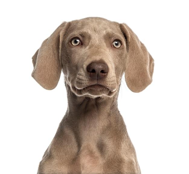 Primo piano di un cucciolo di weimaraner di fronte, isolato