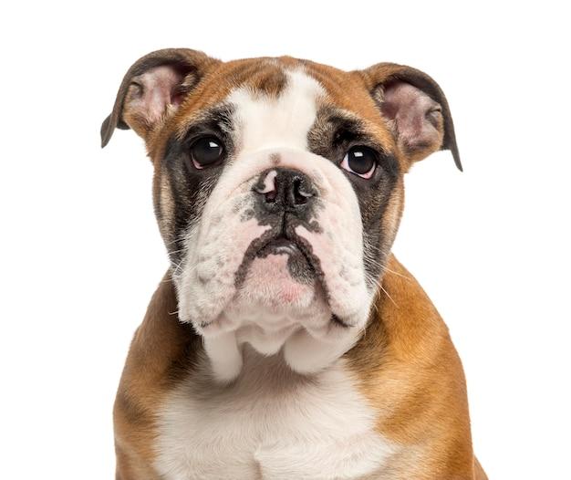 Primo piano di un cucciolo inglese del bulldog isolato