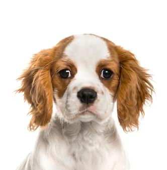 Primo piano di un cucciolo sprezzante di re charles spaniel